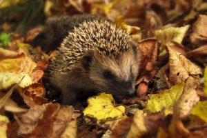 hedgehog-985315_1280